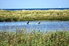 白朝向的鹅,登陆在池塘的分析服务公司albifrons 免版税库存照片