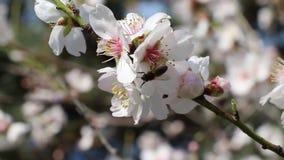 白杏花蜜蜂 影视素材