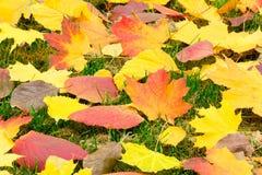 白杨木下落的红色叶子在绿色青苔背景的在的 免版税库存图片