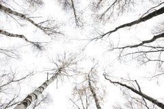白杨木冬天 库存图片