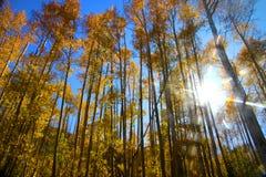 白杨木发出光线星期日高大的树木 免版税图库摄影