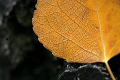 白杨木叶子概要 库存照片