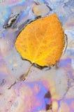 白杨木叶子油料植物 免版税库存照片