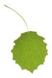 白杨木叶子 库存照片