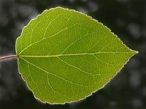 白杨木叶子 免版税库存图片