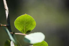 白杨木叶子 图库摄影
