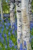 白杨木和野花本质上 免版税库存照片