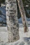 白杨木在冬天 免版税库存图片