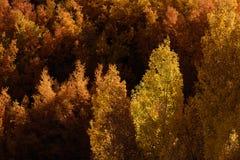 白杨木在秋天, Inyo国家森林,加利福尼亚14 库存照片