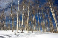 白杨木多雪的结构树 免版税库存照片