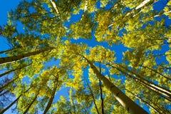 白杨木天空 库存照片