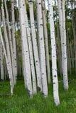 白杨木密集的组颤抖的结构树 库存图片