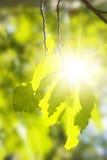 白杨木日晴朗绿色的叶子 库存图片