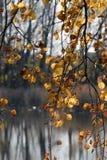 白杨木日秋天池塘晴朗的结构树 免版税图库摄影