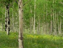 白杨木树丛夏天 免版税库存图片
