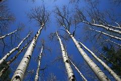 白杨木树丛结构树 库存照片