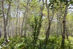 白杨木树丛颤抖的结构树 库存图片