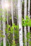白杨木树丛 库存照片