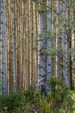 白杨木树丛 免版税库存图片