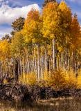 白杨木树丛 库存图片