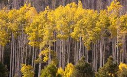 白杨木树丛 免版税图库摄影