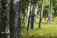 白杨木树丛rmnp 免版税库存照片
