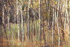 白杨木树干在秋天森林里 库存图片