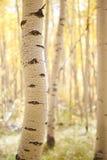 白杨木树干 免版税库存照片