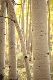 白杨木树干 免版税库存图片