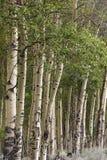 白杨木树线在森林边缘的  免版税库存图片
