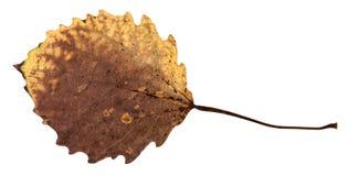 白杨木树腐烂的干叶子的后部  免版税库存图片