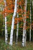 白杨木桦树五颜六色的结构树 库存图片