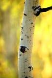 白杨木桦树秋天结构树 免版税库存图片