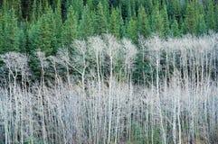 白杨木森林杉木 免版税库存图片