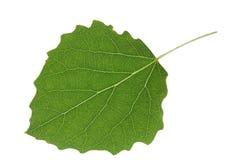 白杨木特写镜头查出的叶子 免版税库存图片