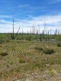 白杨木的恢复,大峡谷国家公园 库存照片