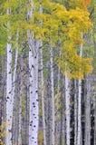 白杨木秋天树丛 免版税图库摄影
