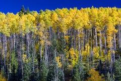 白杨木秋天森林光亮的星期日结构树黄色 免版税库存照片