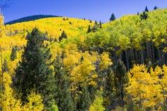 白杨木秋天森林光亮的星期日结构树黄色 库存照片