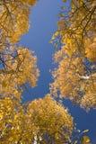 白杨木秋天结构树 免版税库存图片