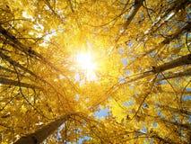 白杨木秋天结构树 库存图片