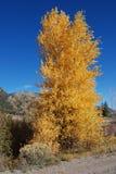 白杨木秋天金黄结构树 库存照片