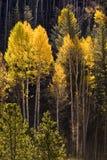 白杨木科罗拉多五颜六色的结构树vail 库存照片