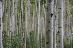 白杨木科罗拉多森林 库存图片