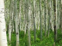 白杨木科罗拉多森林 图库摄影