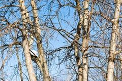白杨木结构树冬天 蓝天 免版税库存照片