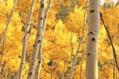 白杨木结构树黄色 免版税库存图片