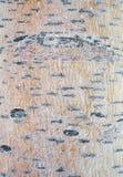 白杨木结构树 免版税库存图片