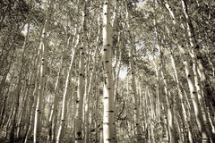 白杨木结构树 库存图片