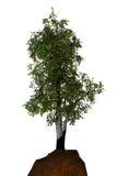 白杨木结构树 免版税图库摄影